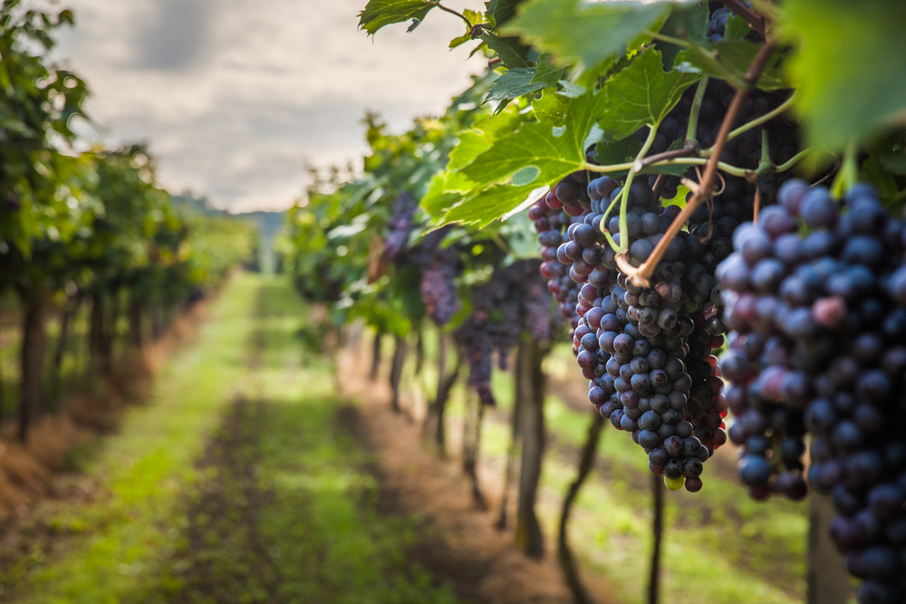 A Guide to the 2019 Wine Harvest in Burgundy